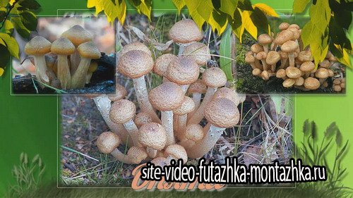 Mushrooms of our forests - Project for Proshow Producer