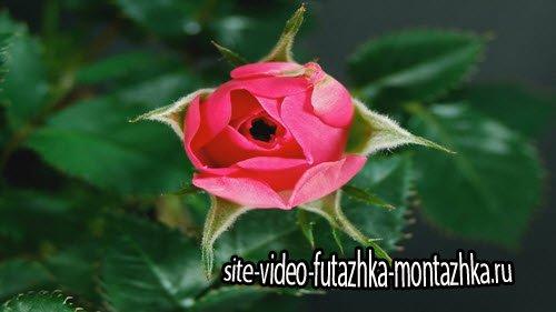 футаж - Распускающийся цветок