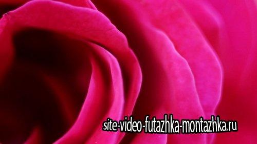 Видео Футаж Красная Роза